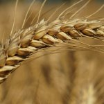 celiac vs wheat vs gluten sensitivity